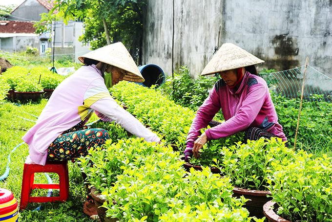 Người dân Ninh Giang chăm sóc hoa cúc Tết.